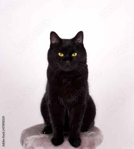 Zdjęcie XXL Czarny kot Czarny kot z żółtymi oczami odizolowywającymi na bielu