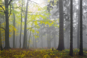 Autumn yellow forest with white fog.