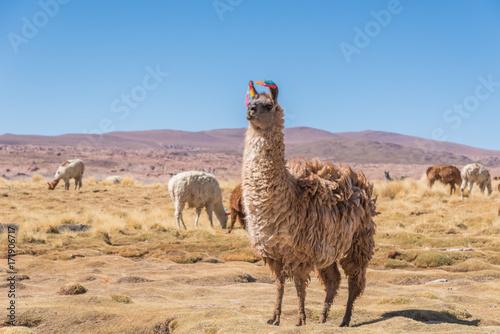Poster Lama Llama