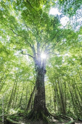 ブナの木と光芒