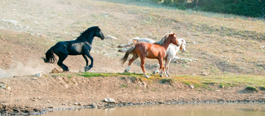 Wild Horses / Mustangs fighting in the Pryor Mountains Wild Horse Range on the state border of Wyoming and Montana United States