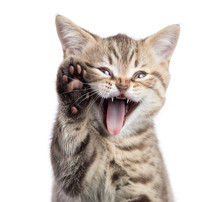Funny Cat Portrait With Open M...