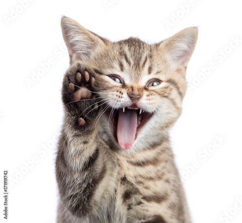 Fotografia, Obraz Funny cat portrait with open mouth and raised paw isolated