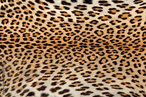 Naklejka premium Close-up view of the skin of a leopard (Panthera pardus).