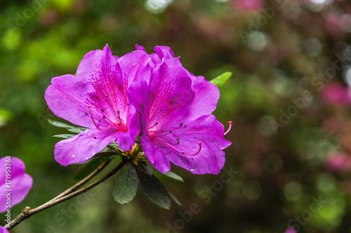 Plakat Kwiaty azalii kwitną wiosną