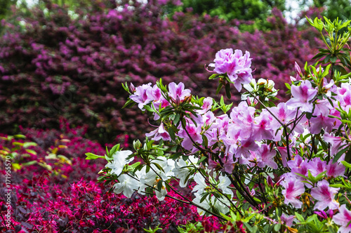 The azalea flowers is blossoming in spring