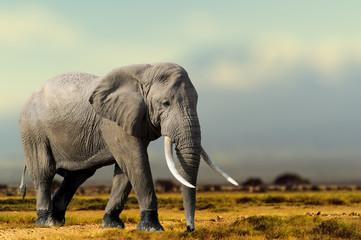Panel Szklany Podświetlane Zwierzęta African Elephant, Masai Mara National Park, Kenya.