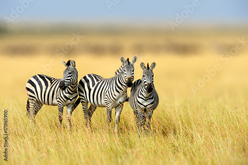 Foto op Canvas Zebra Zebra in the grass nature habitat, National Park of Kenya