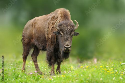 La pose en embrasure Bison European bison in the summer meadow