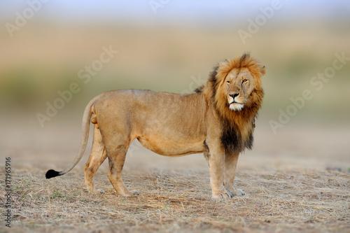 Plakat Afrykańscy lwy, Panthera Leo, Masai Mara park narodowy, Kenja, Afryka