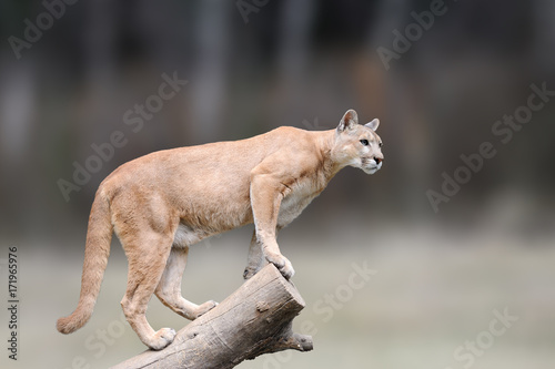 Tuinposter Puma Danger Cougar sitting on branch in the autumn forest background