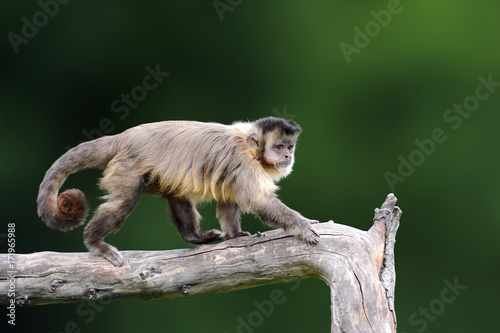 Fotografija Capuchin, monkey sitting on the tree branch in the dark tropic forest