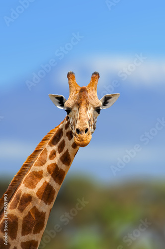 Photo  Giraffe in the nature habitat, Kenya, Africa
