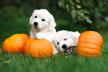 Two Golden Retriever Puppies P...