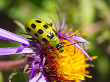 Spotted Cucumber Beetle On Ast...