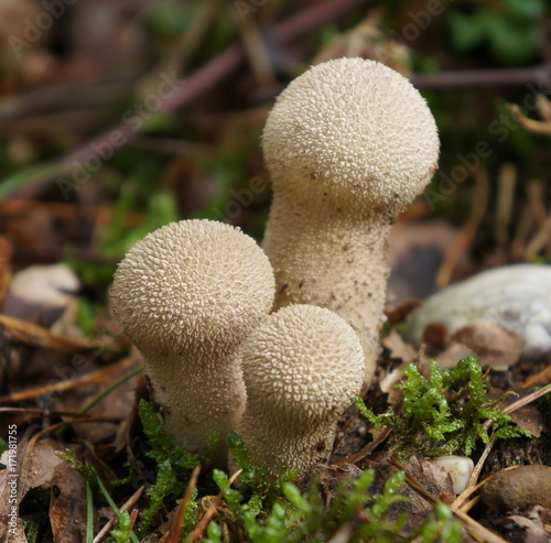 Lycoperdon perlatum, popularly known as the common puffball, warted puffball, gem-studded puffball, or the devil's snuff-box, is a species of puffball fungus in the family Agaricaceae Wallpaper Mural