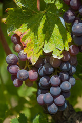Fototapeta Toskania Close-up wine purple grapes with green leaves in vineyards of region Chianti, Tuscany, Italy