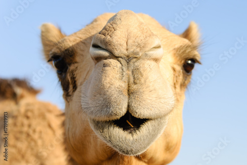 Closeup of a camel's nose and mouth, nostrils closed to keep out sand