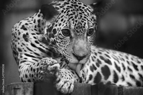 Plakat Jaguar Black & White