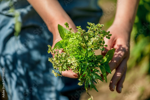 Fototapeta Woman holds a bunch of fresh herbs in herb garden obraz