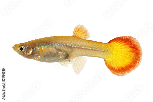 Guppy Poecilia Reticulata Colorful Rainbow Tropical Aquarium Fish Buy This Stock Photo And Explore Similar Images At Adobe Stock Adobe Stock