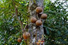 Couroupita Guianensis, L'arbre Aux Boulets De Canon En Guyane Française