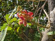 Fleur Du Couroupita Guianensis Ou Arbre Aux Boulets De Canon En Guyane Française