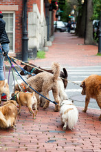 Dog Walker With Eight Dogs On ...
