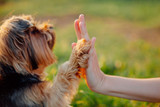 Fototapeta Zwierzęta - Yorkshire terrier gives paw his owner closeup with human hand
