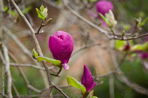 Plakat magnolia x kwiaty soulangeana
