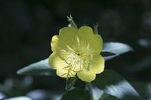 Beautiful Evening Primrose