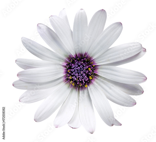 Foto op Canvas Madeliefjes Daisy chrysanthemum chamomile isolated on white background