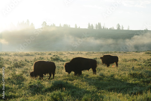 Bison Silhouttes at Dawn