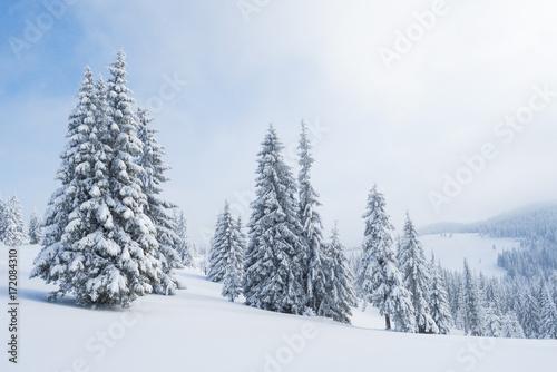 swierkowy-las-w-sniegu