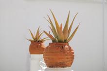 Aloe Vera Growing In A Flower ...