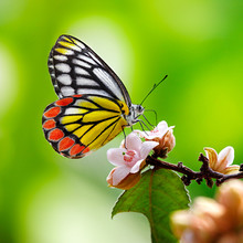 Common Jezebel Butterfly Or Delias Eucharis On Pink Flowers On Green Background