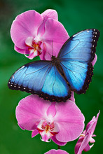 Blue Morpho Butterfly Or A Pin...