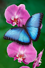 Obraz Blue Morpho butterfly or a pink orchid flower