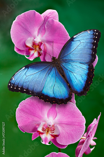 Fotografie, Obraz Blue Morpho butterfly or a pink orchid flower