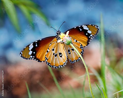 Orange butterfly Danaus chrysippus or Tiger on sky background on yellow flower Tapéta, Fotótapéta