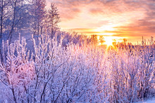 Winter Landscape With Sunset And Forest. Trees Winter Covered With Snow In Rays Of Sunset.
