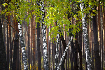 Fototapeta Las Birches in the forest