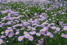 Erigeron Speciosus Plants In B...