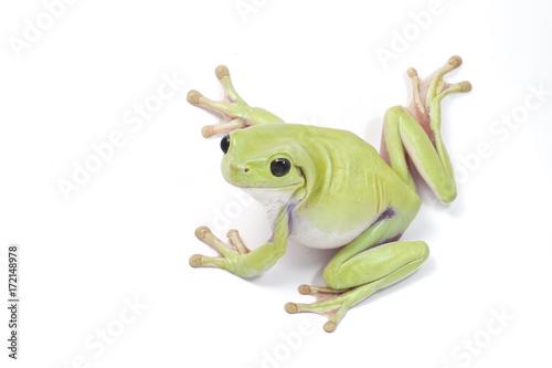 Foto op Canvas Kikker Dumpy frog on white background