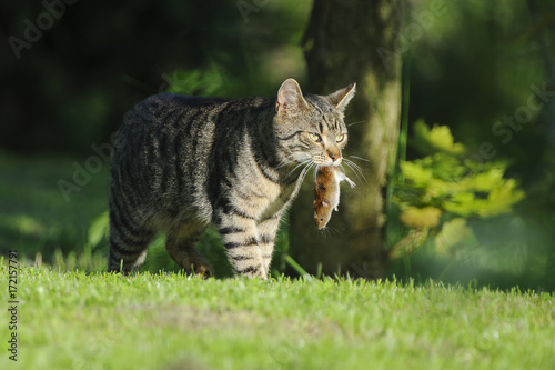 Nice domestic cat carrying small rodent prey in natural garden environment backg Canvas Print