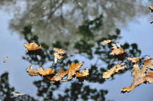 Autumn Oak Leaves On The Water