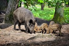Wild Boar Family With Striped ...