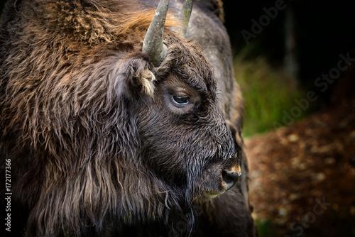 La pose en embrasure Bison Portrait of European bison (Bison bonasus). Wisent.
