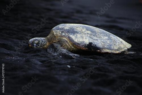 Plakat żółw