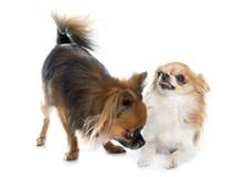 Two Long Hair Chihuahuas